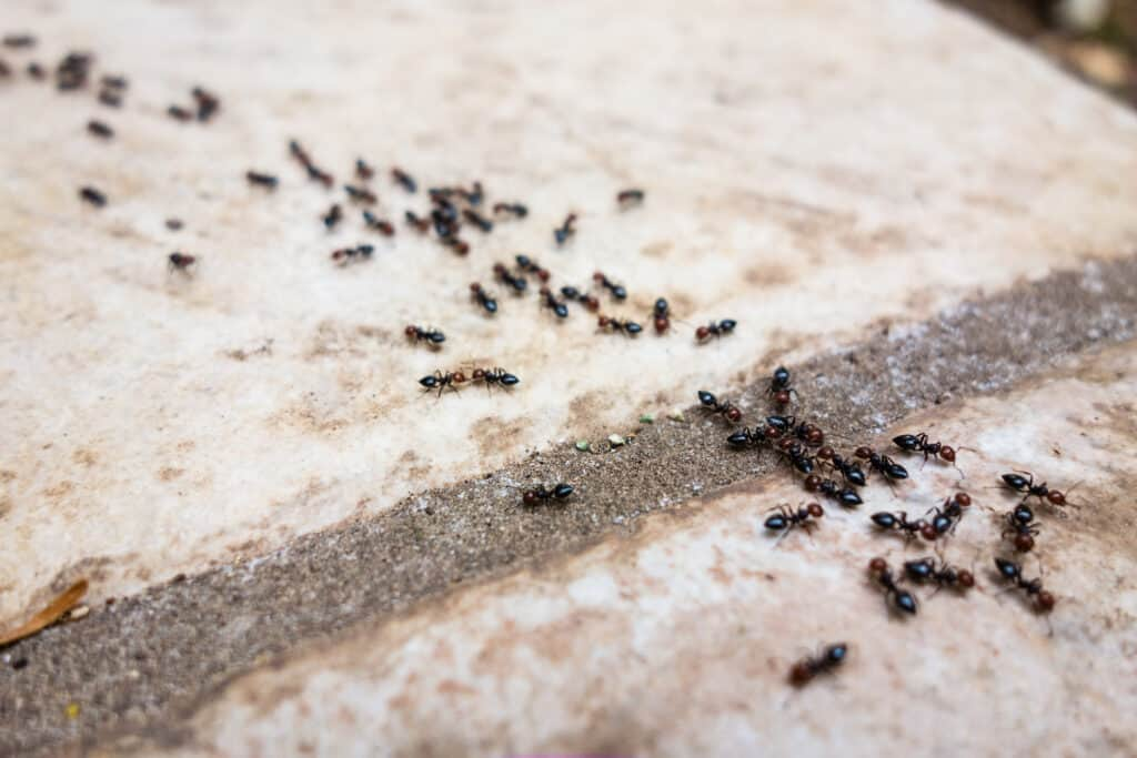 Using coffee grounds to deter ants